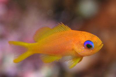 キンギョハナダイの幼魚