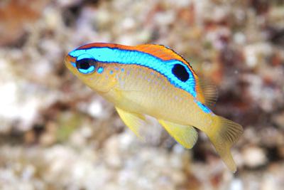 ミヤコキセンスズメダイの幼魚