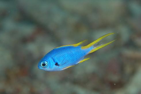 モンスズメダイの幼魚