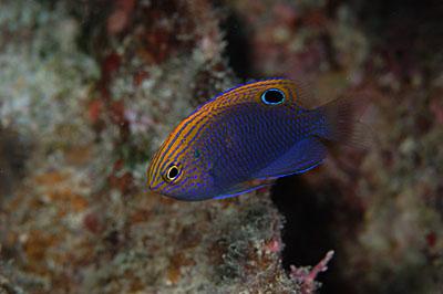 クロメガネスズメダイの幼魚 メガネスズメダイなら尾っぽのところに白い線があるはずなのですが。。。